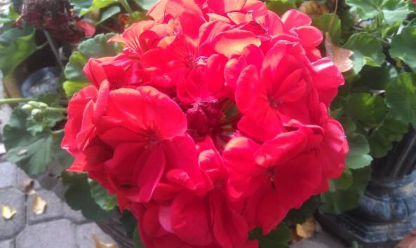 Close-up of one geranium